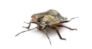 Southern green stink bug, Nezara viridula Royalty Free Stock Image