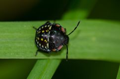 Southern green stink bug. stock images