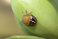 Southern Green Stinkbug mid-instar Royalty Free Stock Photography