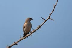 Southern Grey-headed Sparrow Royalty Free Stock Photos