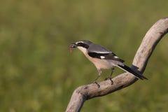 Southern grey shrike Stock Photo