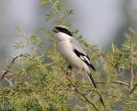 Southern Grey Shrike Lanius meridionalis. Sitting in a bush Royalty Free Stock Photography
