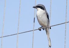 Southern Grey Shrike - Lanius meridionalis. Perched on wire Stock Image