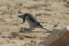 Southern Grey Shrike - Lanius meridionalis. With prey Royalty Free Stock Image