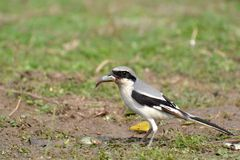 Southern Grey Shrike  feeding on Fish Royalty Free Stock Photos