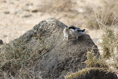 Southern Grey Shrike  (Lanius meridionalis). With a mouse Stock Photography