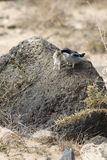 Southern Grey Shrike  (Lanius meridionalis). With a mouse Stock Images