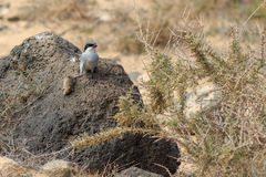 Southern Grey Shrike  Lanius meridionalis. With a mouse Royalty Free Stock Photo