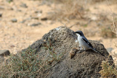 Southern Grey Shrike  Lanius meridionalis. With a mouse Stock Photography