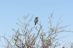 Southern Grey Shrike, Lanius meridionalis. Perched on a branch. Photo taken in Colmenar Viejo, Madrid, Spain Royalty Free Stock Image