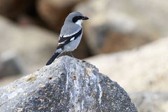 Southern Grey Shrike  (Lanius meridionalis) Stock Photography