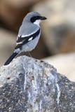 Southern Grey Shrike  (Lanius meridionalis) Stock Image