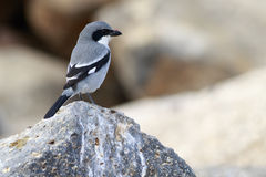 Southern Grey Shrike  (Lanius meridionalis). Perched on a rock Stock Photography