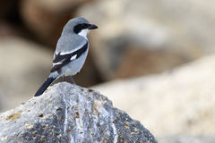 Southern Grey Shrike  (Lanius meridionalis) Royalty Free Stock Photo
