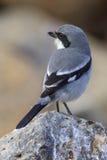 Southern Grey Shrike  (Lanius meridionalis). Perched on a rock Stock Image