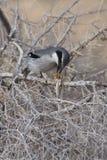 Southern Grey Shrike - Lanius meridionalis. With prey Royalty Free Stock Photos