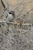 Southern Grey Shrike - Lanius meridionalis. With prey Royalty Free Stock Photography