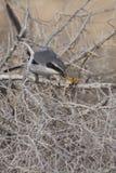 Southern Grey Shrike - Lanius meridionalis. With prey Stock Photo