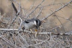 Southern Grey Shrike - Lanius meridionalis. With prey Royalty Free Stock Images
