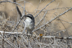 Southern Grey Shrike - Lanius meridionalis. With prey Royalty Free Stock Photo