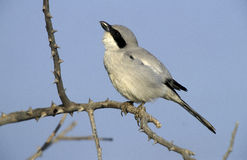 Southern Grey-shrike, Lanius meridionalis. Single bird on branch, Oman Stock Image