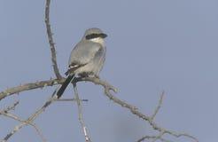 Southern-grey shrike, Lanius meridionalis. Single bird on branch, Oman Royalty Free Stock Image