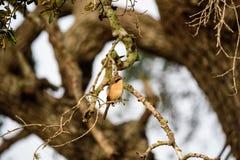 Southern Grey Shrike or Lanius Meridionalis. Sitting on tree branch in Sri Lanka Royalty Free Stock Images