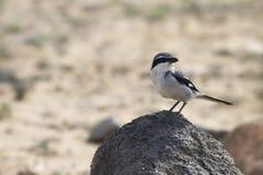 Southern Grey Shrike -Lanius meridionalis. Standing on a rock Stock Image