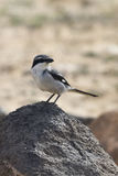 Southern Grey Shrike -Lanius meridionalis Royalty Free Stock Photo