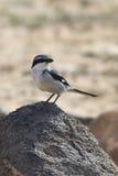 Southern Grey Shrike -Lanius meridionalis. Standing on a rock Royalty Free Stock Photo