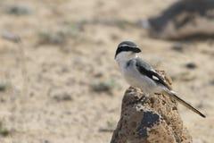 Southern Grey Shrike - Lanius meridionalis. Southern Grey Shrike -Lanius meridionalis standing on a rock Royalty Free Stock Photo