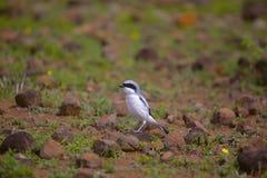 Southern Grey Shrike, Lanius meridionalis Supa. Maharashtra India Stock Photos