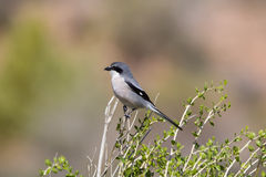 Southern Grey Shrike perched on top of a bush. A Southern Grey Shrike (Lanius meridionalis) perched on top of a bush looking for prey, against a clear, blurred Royalty Free Stock Photos