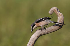 Southern grey shrike Royalty Free Stock Images