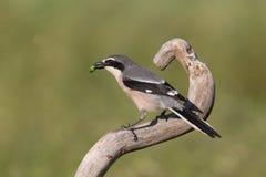 Southern grey shrike Stock Photos