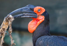 Southern Grond-Hornbill Bird Royalty Free Stock Images