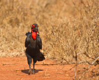The Southern Ground Hornbill. Is the biggest Hornbill and can normally be found walking on the ground of his native east african savannah stock images
