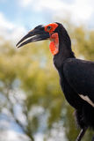 Southern Ground Hornbill Stock Photography
