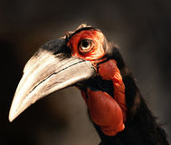Southern Ground Hornbill. Cute, awesome Southern Ground Hornbill Royalty Free Stock Photos
