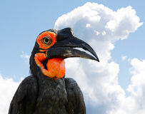 The Southern Ground Hornbill. Or Bucorvus leadbeateri, formerly known as Bucorvus cafer Stock Photography