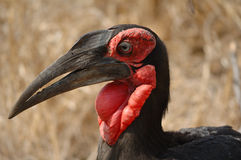 Southern Ground-Hornbill. (Bucorvus leadbeateri) living mainly in savannas, woodland and grassland with adjoining forests Royalty Free Stock Photos
