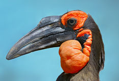 Free Southern Ground Hornbill Stock Photography - 64091072
