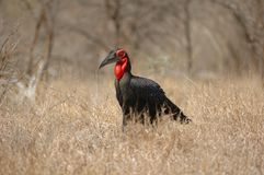 Southern Ground-Hornbill Royalty Free Stock Photo
