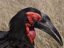 Southern Ground hornbill - Bucorvus leadbeateri. Ground hornbill stalking in kruger park, South Africa Royalty Free Stock Image