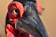 Southern ground hornbill (Bucorvus leadbeateri) Stock Image