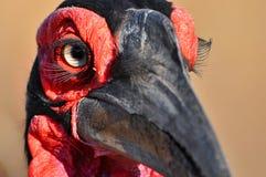 Southern ground hornbill (Bucorvus leadbeateri) Stock Image