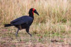 Southern Ground Hornbill (Bucorvus leadbeateri) in Africa Stock Photos
