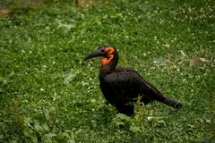 Southern Ground-hornbill Bucorvus leadbeateri eating worm in a grass. The southern ground hornbill Bucorvus leadbeateri Black bird with red neck and big black Royalty Free Stock Photography