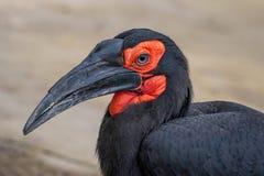 Free Southern Ground Hornbill Bucorvus Leadbeateri Family Of Bucerotidae Stock Image - 148637751