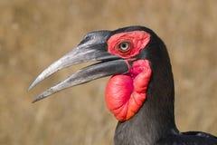 Southern Ground Hornbill (Bucorvus leadbeateri) Royalty Free Stock Images